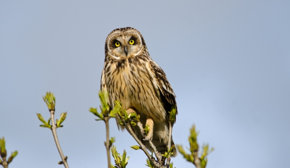 Short-eared Owl, Frodsham Marsh, May 2012. Paul Crawley.