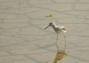 07.07.12. Greenshank, No 6 tank, Frodsham Marsh by Paul Crawley