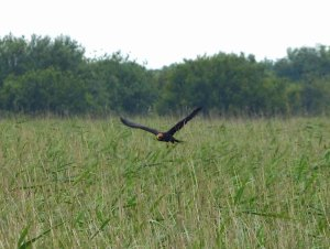 July 2012. juv Marsh Harrier. David Wilson