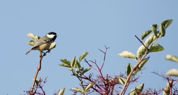 07.10. 12. Coal Tit, No 5 tank, Frodsham Marsh. Image by Paul Crawley.