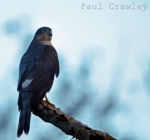 November 2012. Sparrowhawk, Godscroft Lane, Frodsham - Helsby Marshes. Paul Crawley (2)
