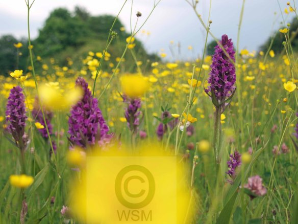 Orchids and buttercups. WSM.