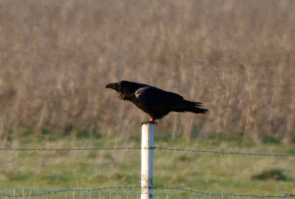 05.11.12. Colour ringed Raven, No 5 tank, Frodsham Marsh. WSm.