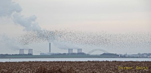 Dunlin flock with Runcorn Bridge from Mount Manisty. Dermot Smith