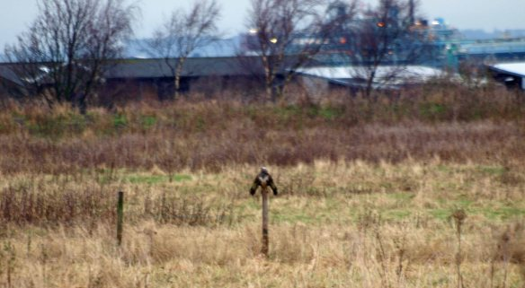 22.12.12. Buzzard drying its wings, No5 tank, Frodsham Marsh. WSM.