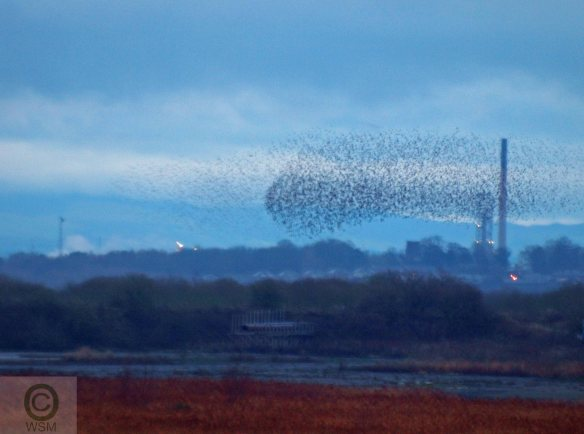 22.12.12. Starling roost on No 4tank, Frodsham Marsh. WSM.