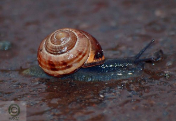 Brown-lipped Snail, Frodsham Marsh. WSM.