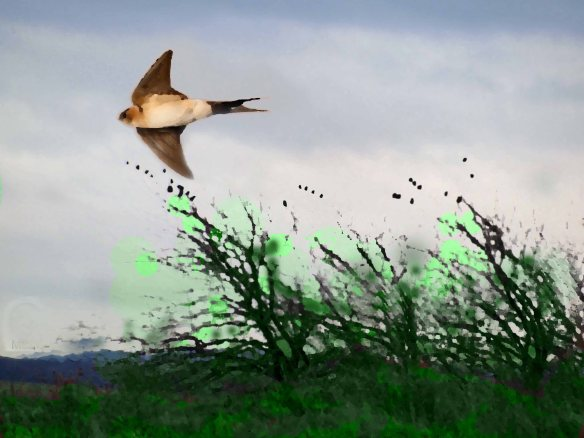 DIGITAL ART. RED RUMPED SWALLOW. WSM