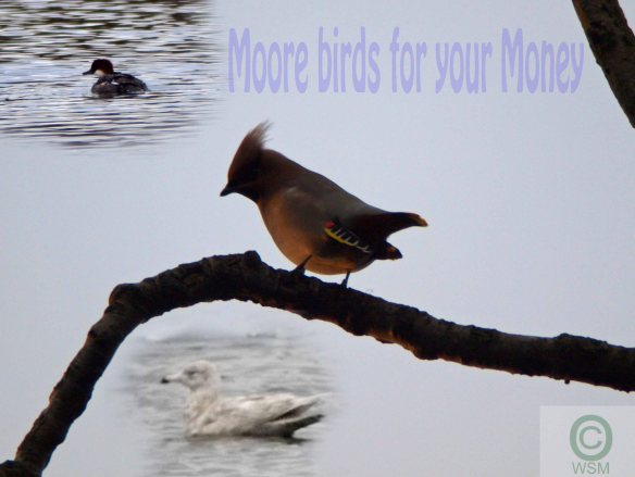 Moore Birds for your Money. WSM.