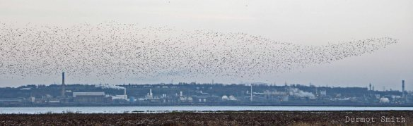 Dunlin flock with Weston point in background. Dermot Smith.