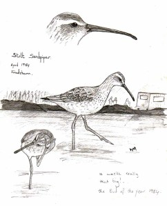 Fieldl sketch of Stilt Sandpiper at Frodsham Marsh, April 1984. Bill Morton