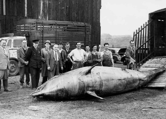 Northern Bottlenose Whale, Wigg Works West, 1950's