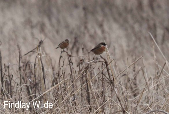 Stonechats by Findlay Wilde