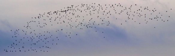 Golden Plovers in fkight. WSM