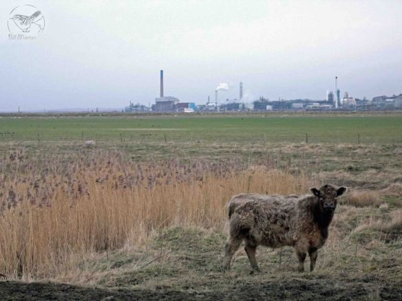28.01.13. Cow, No 5 tank, Frodsham Marsh