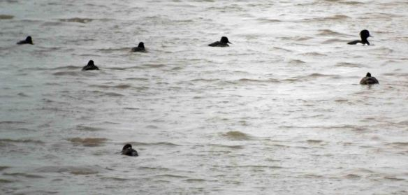 28.01.13. Tufted Duks and Scaup (female), No 6 tank, Frodsham Marsh