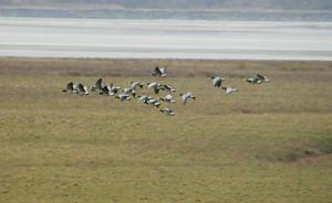 Barnacle Geese on January 2013 WeBS count. Ince Marshes.