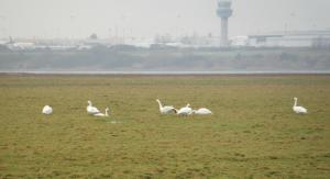 Bewick's Swans on January 2013 WeBS count. Ince Marshes.