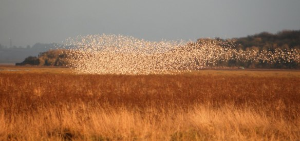 Dunlin flock with Stanlow Point in background. December High water counts WeBS. 2