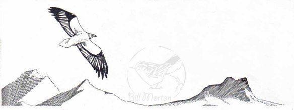 Illustration of Egyptian Vulture.. Bill Morton