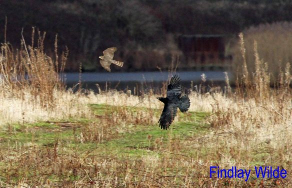 04.01.13. Sparrowhawk & Crow at the Weaver Bend by Findlay Wilde.