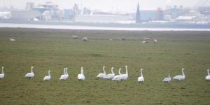 Winter Swans on January 2013 WeBS count. Ince Marshes.