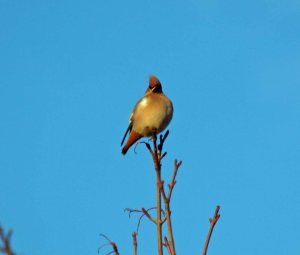 06.02.13. Waxwing, Runcorn. Bill Morton