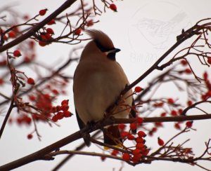Waxwing. Bill Morton