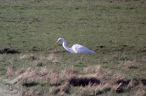 16.02.13. Great White Egret, Frodsham Score. Bill Morton