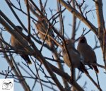 16.02.13. Waxwings, Picow Farm Road, Runcorn. Bill Morton