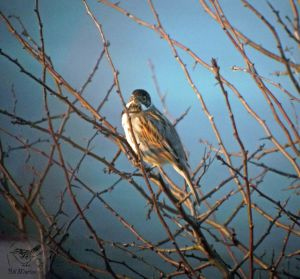19.02.13. Reed Bunting from the south banks of No 6 tank, Frodsham Marsh