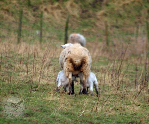 22.02.13. Sheep with lambs, No 2 tank, Frodsham Marsh. Bill Morton.