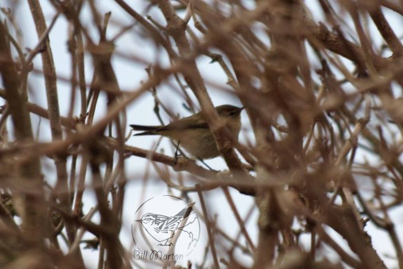 26.02.13. Chiffchaff, No 6 tank, Frodsham Marsh. Bill Morton