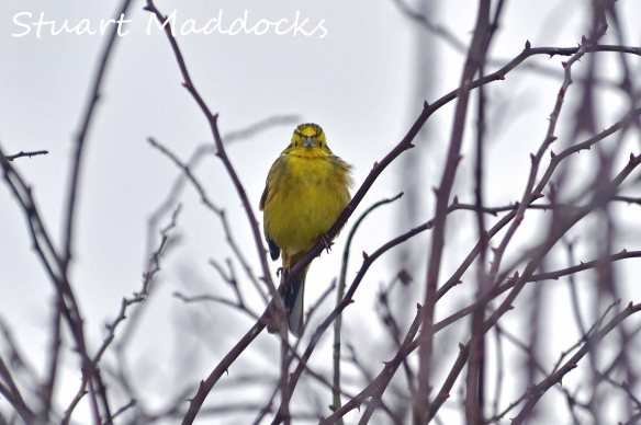 26,02,13, Yellowhammer, Ince, Cheshire