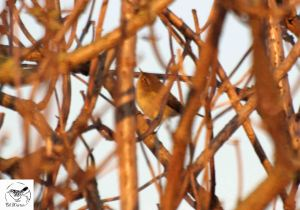 27.02.13. Chiffchaff, no 6 tank., Frodsham Marsh. Bill Morton