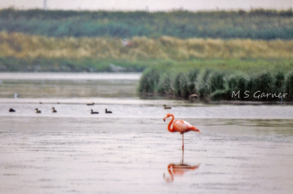 Flamingo, Weaver Bend, Frodsham Marsh, 1989.