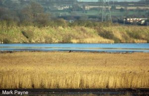 08.02.13. Hen harrier (female), No 6 tank, frodsham Marsh. Mark Payne