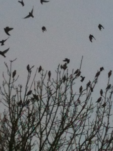 11.02.13. Waxwings in Widnes. Dave Stewart.
