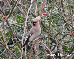 Waxwings in garden 22 Feb 2013. Colin Butler