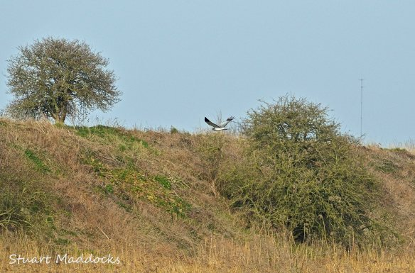 04.03.12 Hen Harrier (male), Frodsham Marsh. Stuart Maddocks.