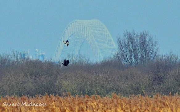 04.03.12 Hen Harrier (male), Frodsham Marsh. Stuart Maddocks..