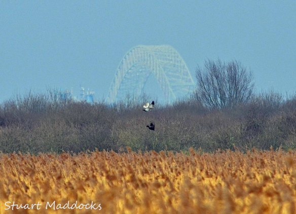 04.03.12. Hen Harrier (sub-adult male), Frodsham Marsh. Stuart Maddocks.