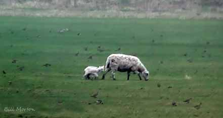 09.03.13. Spring Lambs and Golden Plovers. Bill Morton.
