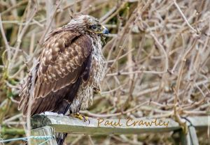23.03.13. Common Buzzard, Frodsham Marsh. Paul Crawley.