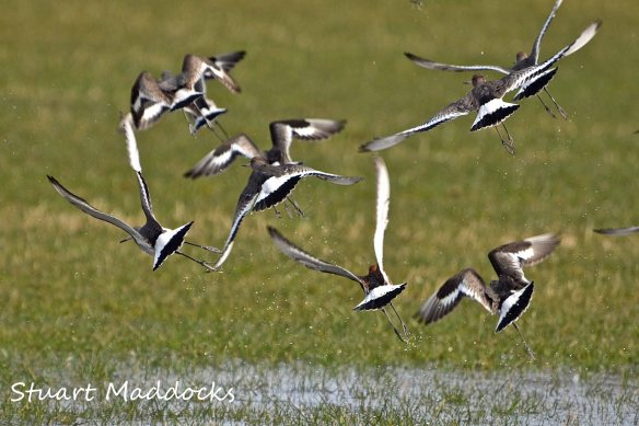 24.03.13. Black-tailed Godwits, Ince-Holpool Gutter fields. Stuart Maddocks.