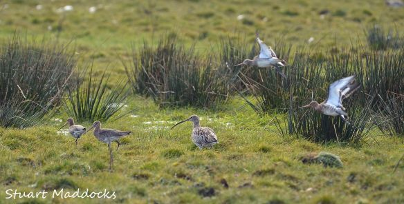 25.03.13. Curlew and Black-tailed Godwit, Frodsham Marsh. Stuart Maddocks.