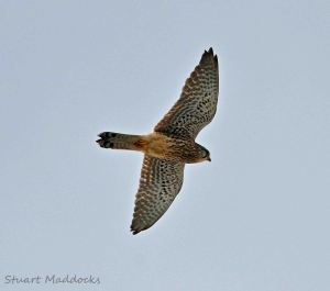 25.03.13. Kestrel (female) over frodsham Marsh. Stuart Maddocks