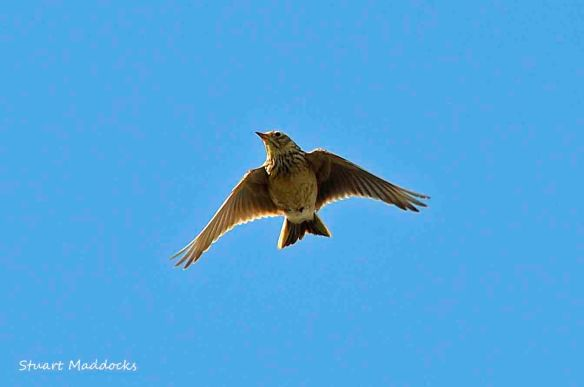 25.03.13. Skylark singing, Lordship Lane, Frodsham Marsh. Stuart Maddocks.