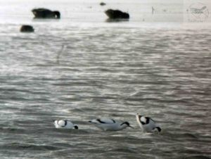 25.03.13. Avocets, no 6 tank, Frodsham Marsh. Bill Morton.