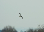 28.03.13. Hen Harrier (sub-male), No 4 tank, Frodsham Marsh. Dareen Endersby (4)